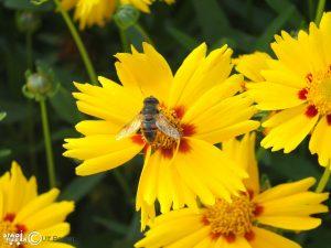 PF-Naturfoto Biene
